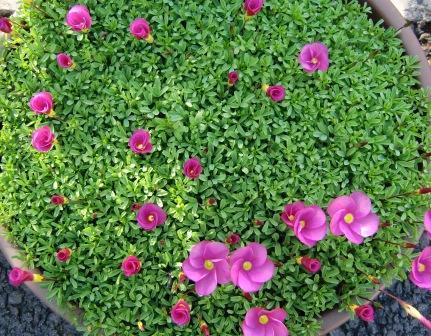 オギザリス 桃の輝き