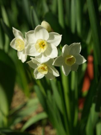 カップ咲き水仙