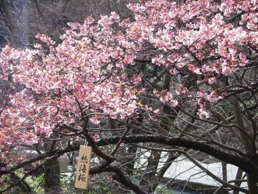 CIMG3133熱海桜