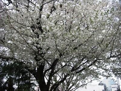 CIMG3206sakura桜