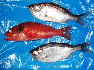 DSCF1295魚2