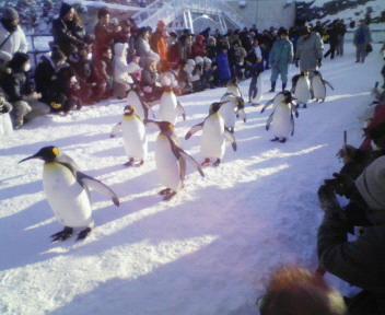 旭日山動物園ペンギンの行列
