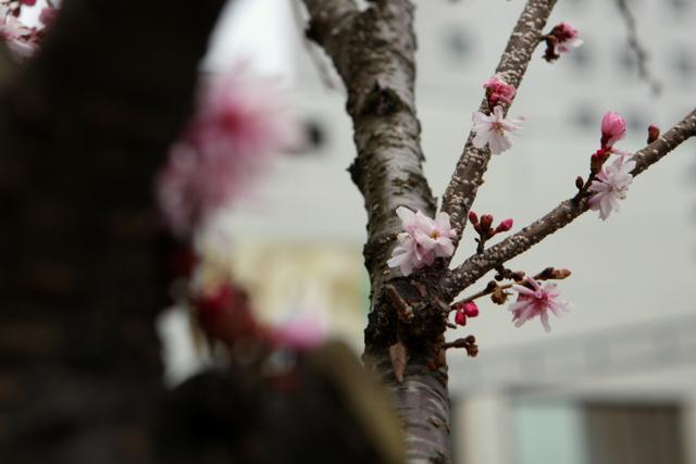 2010 桜 弘前市上土手町