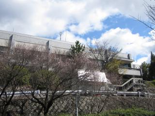 農学部の桜!2