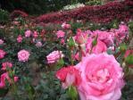 一面の薔薇