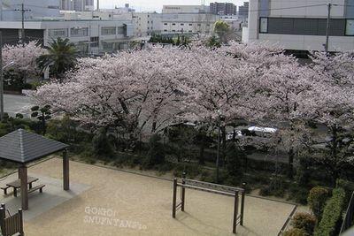 すなふ家からみた桜