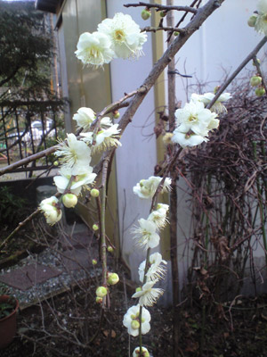 枝垂れ梅も立派に花咲きました。