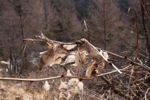 ミヤマシロチョウ越冬巣