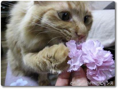 八重桜と寅吉.4
