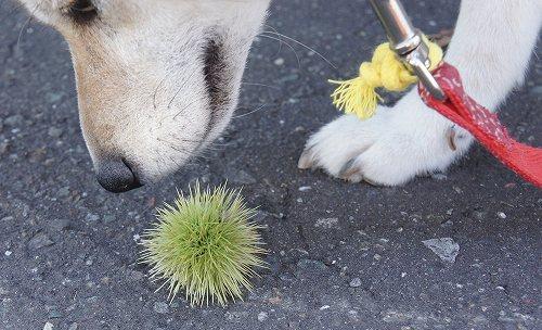 柴犬とイガグリ