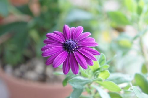 オスペルマムの花