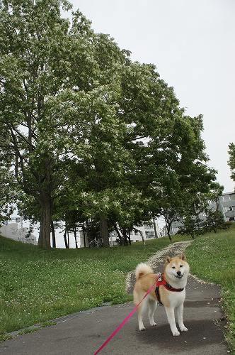 ニセアカシアの巨木