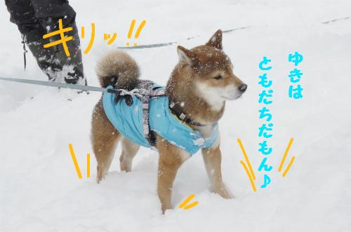 ゆきはともだち・・・雪中散歩はへーきだよの虎徹くん