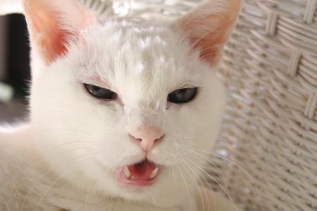 猫に無理なことを言うんぢゃなくてよ