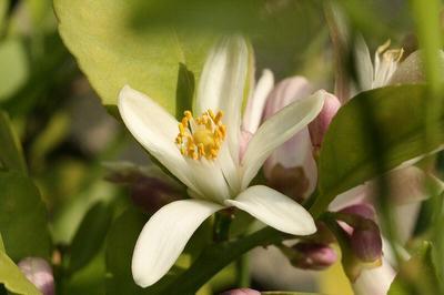 檸檬の花 001