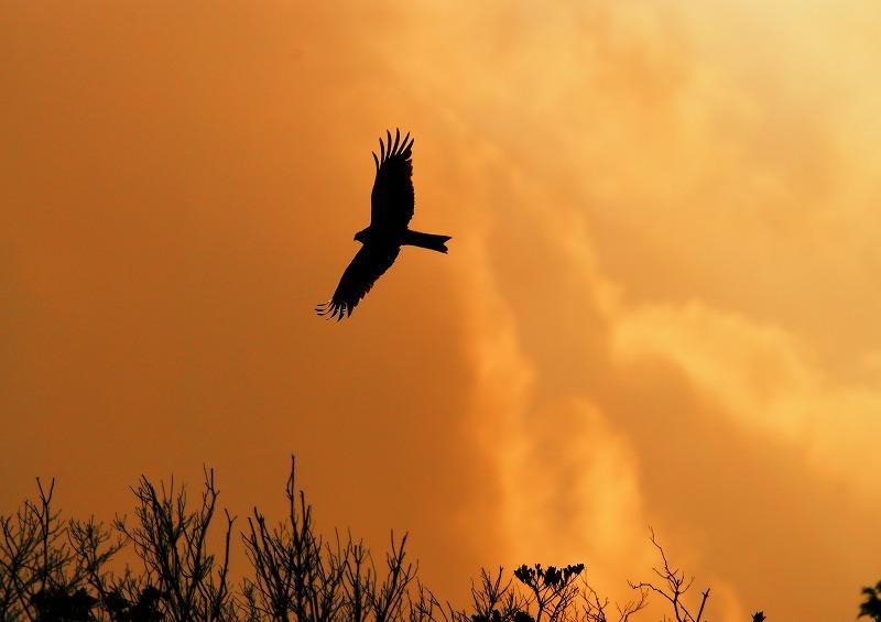 夕焼けに飛ぶミサゴ