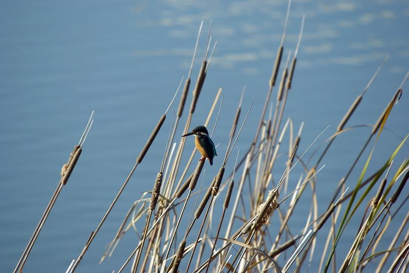 カワセミ(鳥景写真)