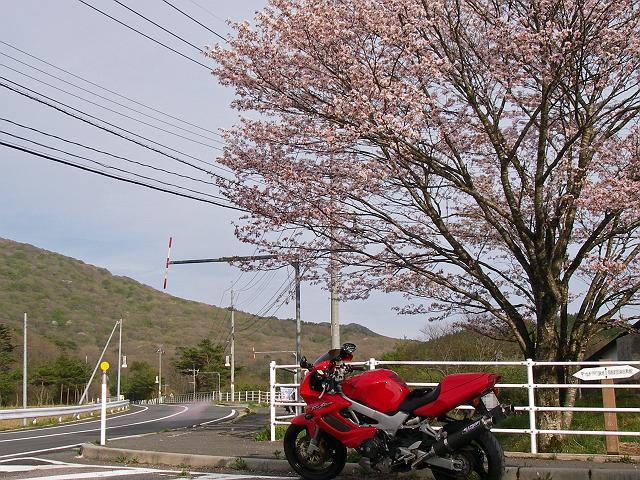 臥竜山入り口の桜