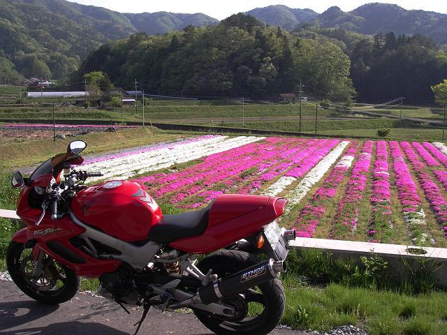 金城町の芝桜畑
