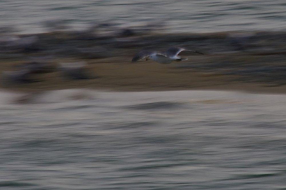 セグロカモメ