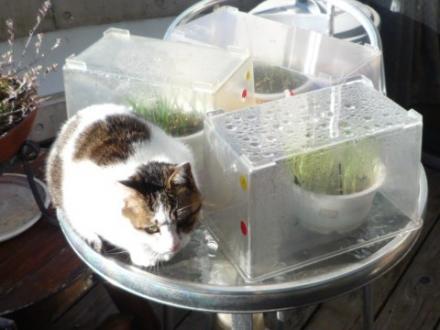 簡易猫草温室①