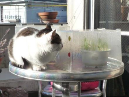 簡易猫草温室②