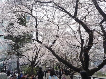外濠公園の桜②