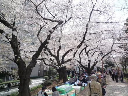 外濠公園の桜③