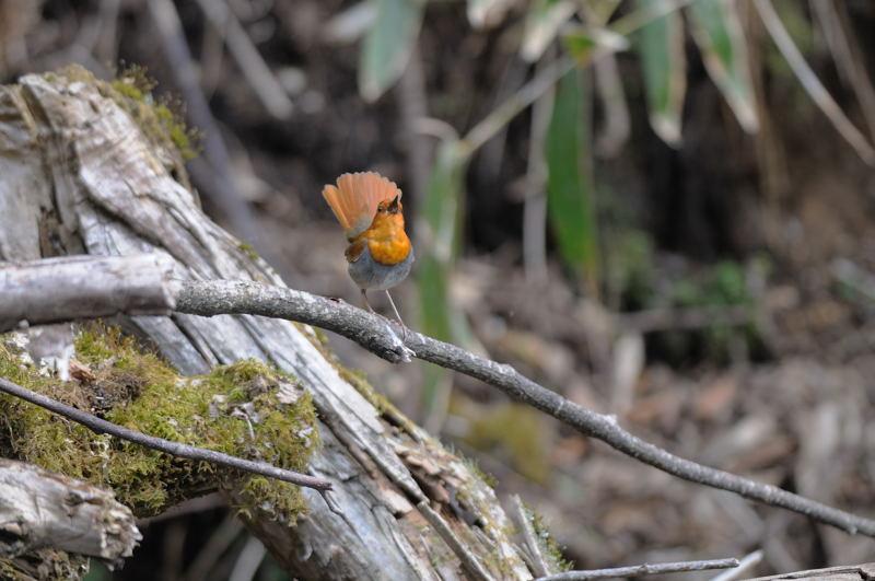 DSC_3786-230516八岳の滝コマドリ-B