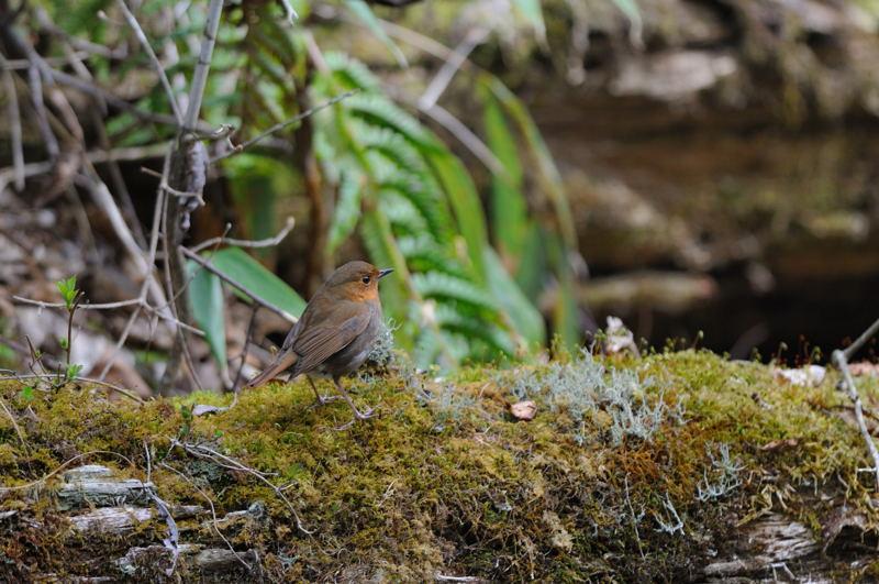 DSC_3889-230516八岳の滝♀コマドリ-B
