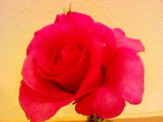 rose24may10.jpg