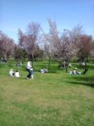 モエレ沼桜2