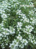 2011.7.31 渋江公園の花 ①