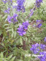 2011.7.31 渋江公園の花 ②