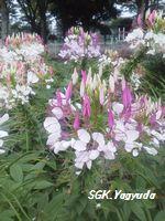 2011.7.31 渋江公園の花 ③