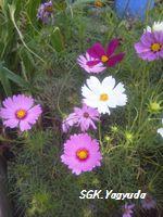 2011.7.31 渋江公園の花 ④