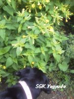 2011.7.31 渋江公園の花 ⑥