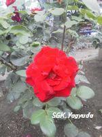2011.7.31 渋江公園の花 ⑦