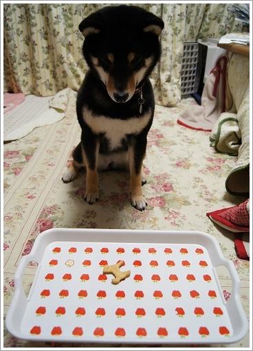 12.02.23 柴犬クッキー 004