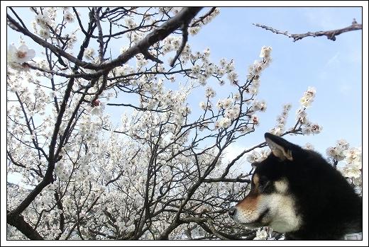 12.03.20 梅の花とドッグカフェPAW 005