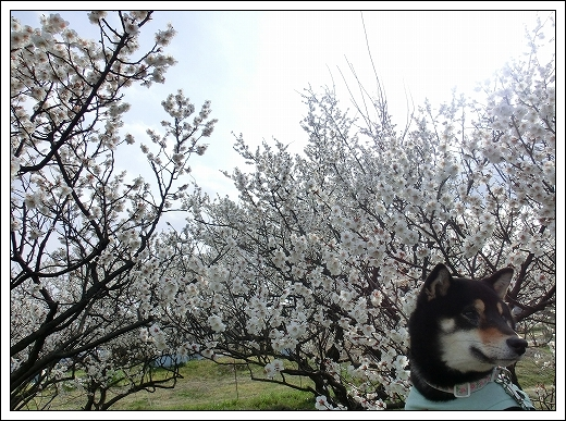 12.03.20 梅の花とドッグカフェPAW 007