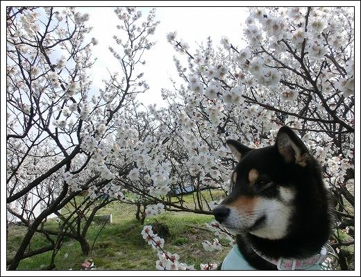 12.03.20 梅の花とドッグカフェPAW 010