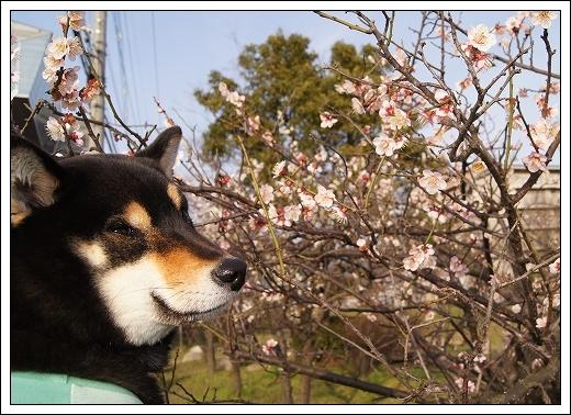 12.03.20 梅の花とドッグカフェPAW 045