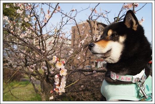 12.03.20 梅の花とドッグカフェPAW 047
