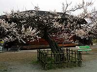 越生野梅の保存木