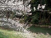 越辺川沿いの梅