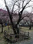 紅梅保存木