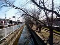二郷半用水沿い桜並木
