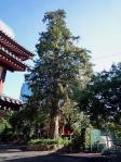 増上寺のカヤ