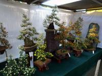 小菊盆栽作り